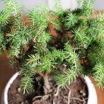 درخچه کوچک مینیاتوری بونسای کاج کونیکا مناسب برای هدیه | خرید از فروشگاه آنلاین گل و گیاه گلییو goliu.ir