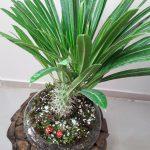 عکس گیاه ماداگاسکار سایت گلیو