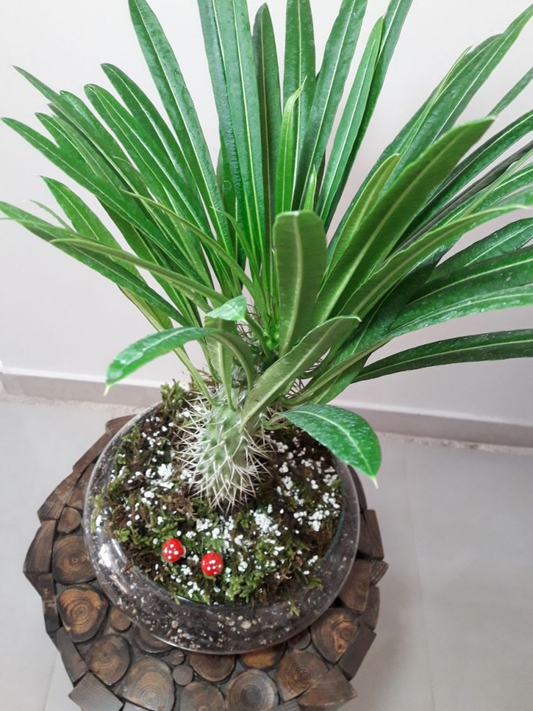 گیاه ماداگاسکار