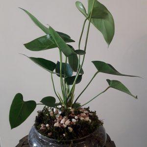 گل آنتریوم-سایت گلیو-gulio.ir-فروش محصولات طبیعی
