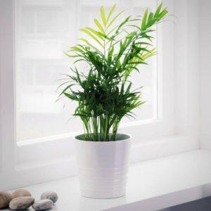 خرید نخل شامادورا گلدان ارتیسا از سایت گلیو goliu.ir