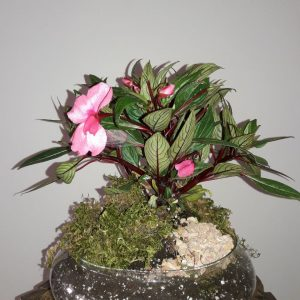 عکس گیاه حنا
