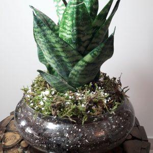 عکس گیاه اکوپا