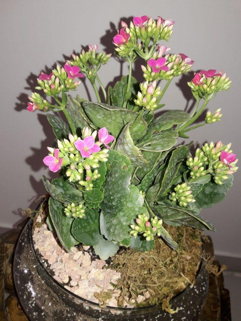 گل قاشقی غنچه
