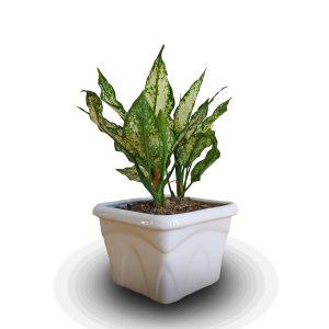 خرید آگلونما نخشید chinese evergreens