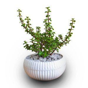 خرید کراسولا خرفه ای crassula ovata jade plant