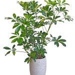 خرید Dwarf umbrella tree (شفلرا آربوریکلا)