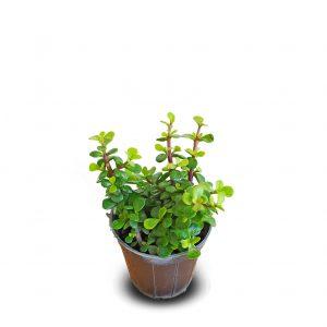 خرید ارزان و اقتصادی خرید کراسولا خرفه ای crassula ovata jade plant