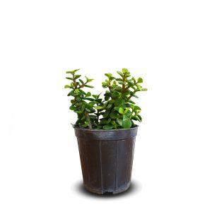 خرید خرید کراسولا خرفه ای crassula ovata jade plant ارزان و اقتصادی