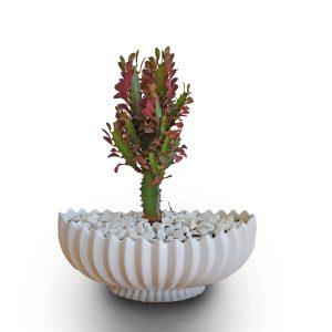 خرید افوربیا تریگونا (euphorbia trigona)