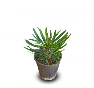 خرید نخل ماداگاسکار Madagascar palm (پاکیپودیوم لامری)