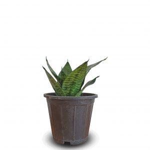 خرید ارزان و اقتصادی سانسوریا پا کوتاه sansevieria snake plant