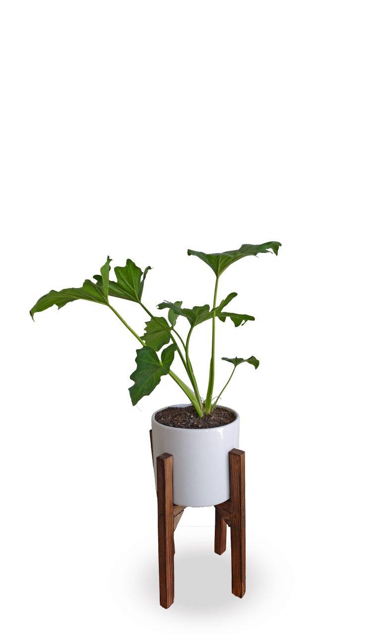 برگ انجیری با گلدان پایه دار
